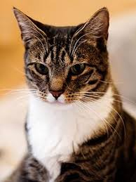 haired cat domestic haired cat