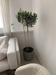 olivenbaum 140cm