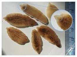 Liver Fluke Specimens From An Altnaharra Female