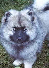Dogs That Dont Shed Keeshond by 1271 Best Images About Cats U0026 Dogs On Pinterest Persian