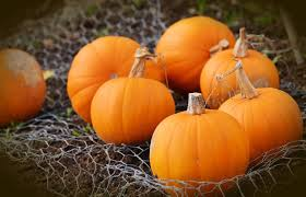 Pumpkin For Dog Constipation by Can Dogs Eat Pumpkin Is Pumpkin Good For My Dog Pupunite