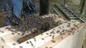 New Swarm Gets Moved Into The Top Bar Hive Nuc - YouTube Bkeeping For Beginners Pt1 Video On How To Build A Top Bar Hive Feeder Set Up Behind Follower Board In Bkeeper Top Bar Hive Melissas Honey Bees Epic Beehive Swarm Trap Youtube How Transfer Brood Comb From Langstroth Frames New 200 Hives The Lowcost Sustainable Way A Bee Keeping Make Favorite Sewisabel Backyardhive And Bkeeeping Supplies Sale To Install Package Beverly Getting Started Your First Year As Beehive By Eco Box Eco Bee Box Modern