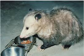 To Get Rid Of Possums All About Opossums Wildlife Rescue And Rehabilitation Easy Ways To Get Rid Of Possums Wikihow Animals Articles Gardening Know How 4 Deter From Your Garden Possum Hashtag On Twitter Removal Living In Sydney Opossum Removal Services South Florida Nebraska Rehab Inc Help Nuisance Repel Gel Barrier Sealant For Squirrels And Raccoons To Of Terminix