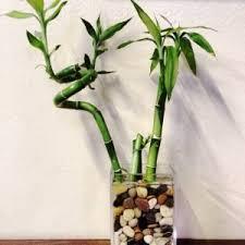 lucky bamboo als zimmerpflanze pflegen heimwerker de