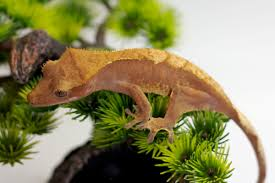 Crested Gecko Shedding Help by Phoenix Reptile Breeders Crested Geckos U0026 More