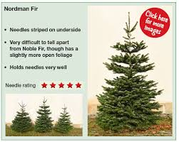 Nordmann Fir Christmas Trees Wholesale by Christmas Trees At Bawtry Forest Doncaster Yorkshire And Botany