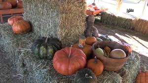 Pumpkin Patch Katy Tx by U Pick Pumpkin 2013 Apple Valley Ca Youtube