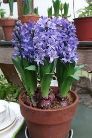 dotty plants greenhouse journal outcome based hyacinth bulb plans