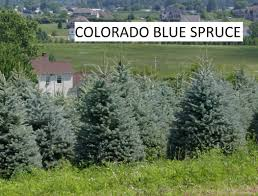 Christmas Tree Seedlings Wholesale by B U0026b Evergreens Trees From Pennsylvania New York And Indiana