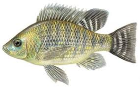 Live Pure Strain Nile Tilapia For Sale