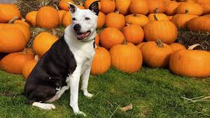 Nearest Pumpkin Patch Shop by Can You Take Your Dog To A Pumpkin Patch Rover Com