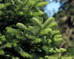 Nordmann Fir Christmas Trees Wholesale by Review Pines And Needles Real Christmas Tree Delivery Service