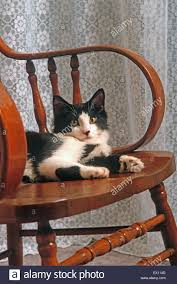 Black And White Male Domestic Long-haired Cat On Rocking ...