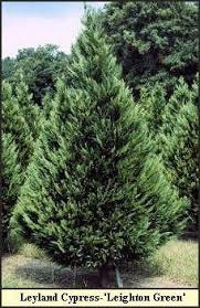 Christmas Tree Varieties Photos And Information To Choose The Best With Types