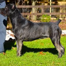 Cane Corso Italiano Shedding by Cane Corso Dog Are Naturally Forward Blue Kings Cane Corsos