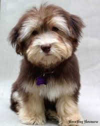 Cute Non Hypoallergenic Dogs by Havanese Dogs Google Search Too U0027dog U0027gone Cute Pinterest