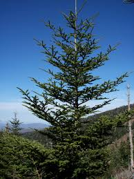 Christmas Tree Species Usa by Fraser Fir Wikiwand