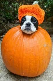 Boston Terrier Pumpkin Pattern by 1776 Best Boston Terriers Images On Pinterest Boston Terriers