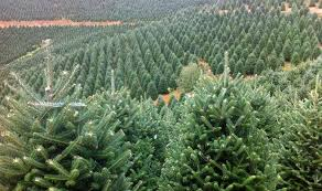 Fraser Fir Christmas Trees Nc by Fresh Cut Christmas Trees Coming Soon U2013 Lovers Lane Tree Farm