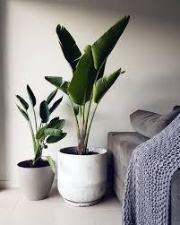 große zimmerpflanzen wohnzimmerpflanzen wohnzimmer pflanzen