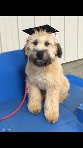 Do Wheaten Terrier Puppies Shed by Curtis Paws And Pals Soft Coated Wheaten Terrier