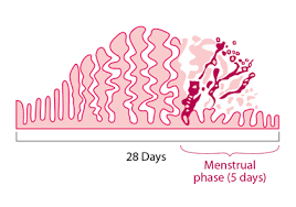 Uterus Lining Shedding Period 15 shedding of uterine lining during pregnancy menstruation