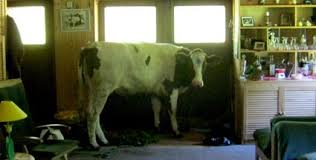 schleswig holstein kuh springt durch küchenfenster in wohnhaus