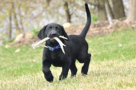 Which Dogs Do Not Shed Or Smell by Tips For Shed Hunting With A Dog Game U0026 Fish