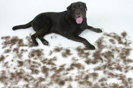 dealing with dog moulting and hair shedding dogbuddy blog