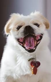 pekingese chihuahua mix shedding 100 images learn about the