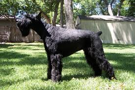 Do Giant Schnauzer Dogs Shed Hair by Giant Schnauzer Appearance U0026 Grooming