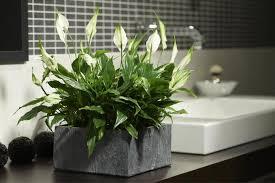 pflanzen fürs bad diese eignen sich am besten plantas no