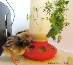 Can Rabbits Eat Pumpkin Seeds by The Chicken Chicken Treats Guide Don U0027t Love Your Pets To