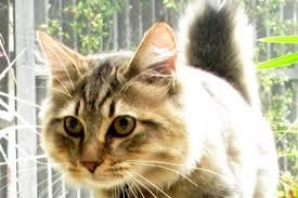 bobtail cat 5 facts about american bobtail cats mental floss
