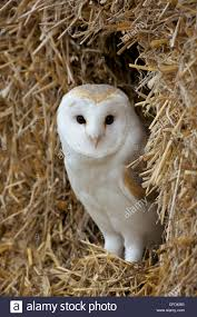 Barn Owl ( Tyto Alba), Captive, In Bales Of Straw, Barn Owl Centre ... This Galapagos Barn Owl Lives With Its Mate On A Shelf In The Baby Barn Owl Owls Pinterest Bird And Animal Magic Tito Alba Sitting On Stone Fence In Forest Barnowl Real Owls Echte Uilen Wikipedia Secret Kingdom Young Tyto Roost Stock Photo 206862550 Shutterstock 415 Best Birds Mostly Uk Images Feather Nature By Annette Mckinnnon 63 2 30 Bird Great Grey