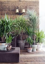 yucca palme als zimmerpflanze das haus zimmerpflanzen