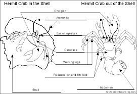 Do Hermit Crabs Shed Their Legs by 04 The Anatomy And Lifecycle Of The Hermit Crab Project Hermies