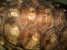 Snapping Turtle Shell Shedding by Redearslider Com View Topic Turtle Shell Help
