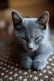 russian cat names best 25 russian blue kitten ideas on russian blue