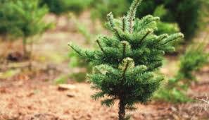 Christmas Tree Permits Colorado Buffalo Creek by How To Cut Your Own Colorado Christmas Tree Our Community Now At