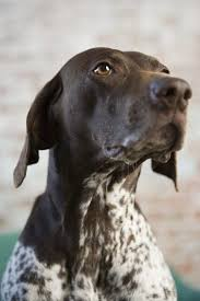 German Wirehaired Pointer Shedding by Differences Between German Shorthairs U0026 English Pointers Pets