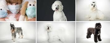 List Of Non Shedding Hypoallergenic Dogs by 10 Hypoallergenic Dog Breeds Cosmodoggyland Dog Magazine