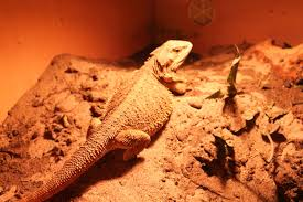 how do you know if your bearded dragon is pregnant pogopogona