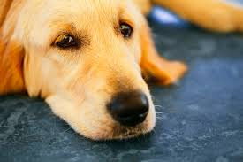 Using Pumpkin For Diarrhea In Dogs by Of Bowel Control In Dogs Symptoms Causes Diagnosis Treatment
