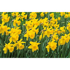 shop garden state bulb 60 pack king alfred daffodil bulbs at lowes
