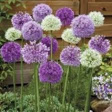 hyacinth bulbs for sale buy flower bulbs in bulk save