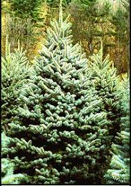 Christmas Trees Types by Mail Order Vermont Christmas Trees Learn The Tree Types Then Order