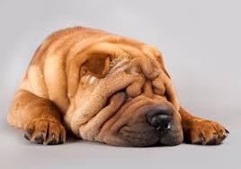 Do Mini Shar Peis Shed by The Ultimate Chinese Shar Pei Dog Food Guide Dog Food Guru