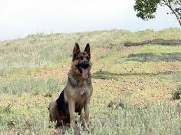 ask the dog guide german shepherd shedding dog reflections