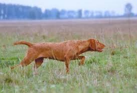 Vizsla Dog Breed Shedding by March 2011 Puzzle Muzzle